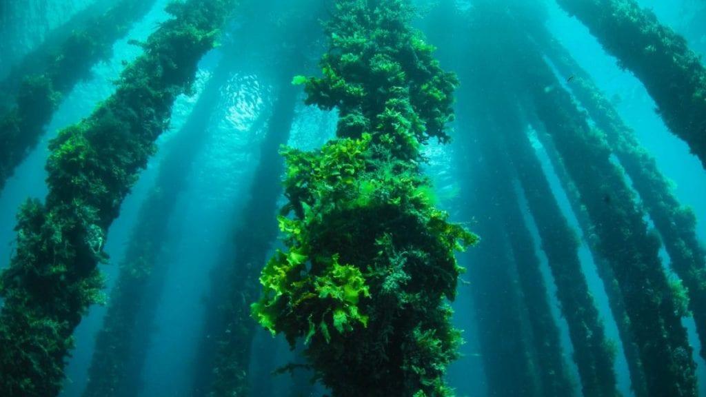 Underwater picture of seaweed.