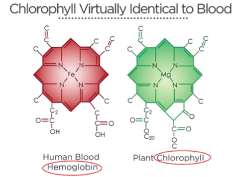 Hemoglobin cell and plant chlorophyll cell
