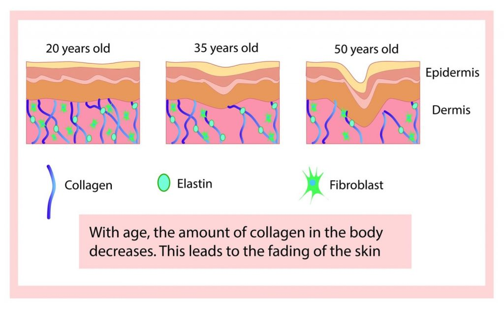 chart showing collagen and elastin in skin