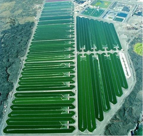 spirulina algae farm